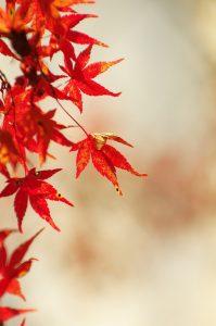 autumnal leaves, maple, autumn